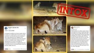 Un léopard reconnaissant envers une vache pour l'avoir allaité tout jeune ? Intox.