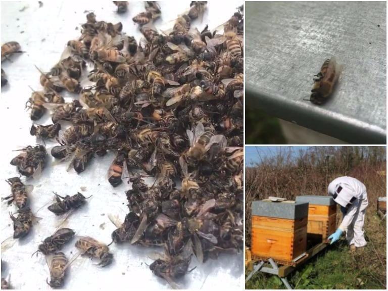 Les abeilles sont tuées, selon notre Observateur, par les insecticides. Photos publiées sur sa page Facebook.