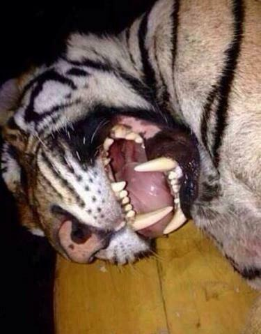 A butchered tiger in Guangzhou, photo broadcast in January 2014 by inesita_w on WeChat.