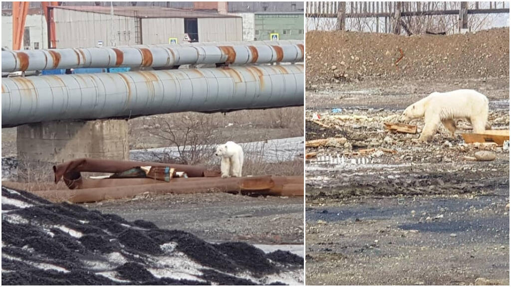 An emaciated polar bear searching for food in the Russian town of Norilsk this week. (Photo: Putorana Tour/Instagram)