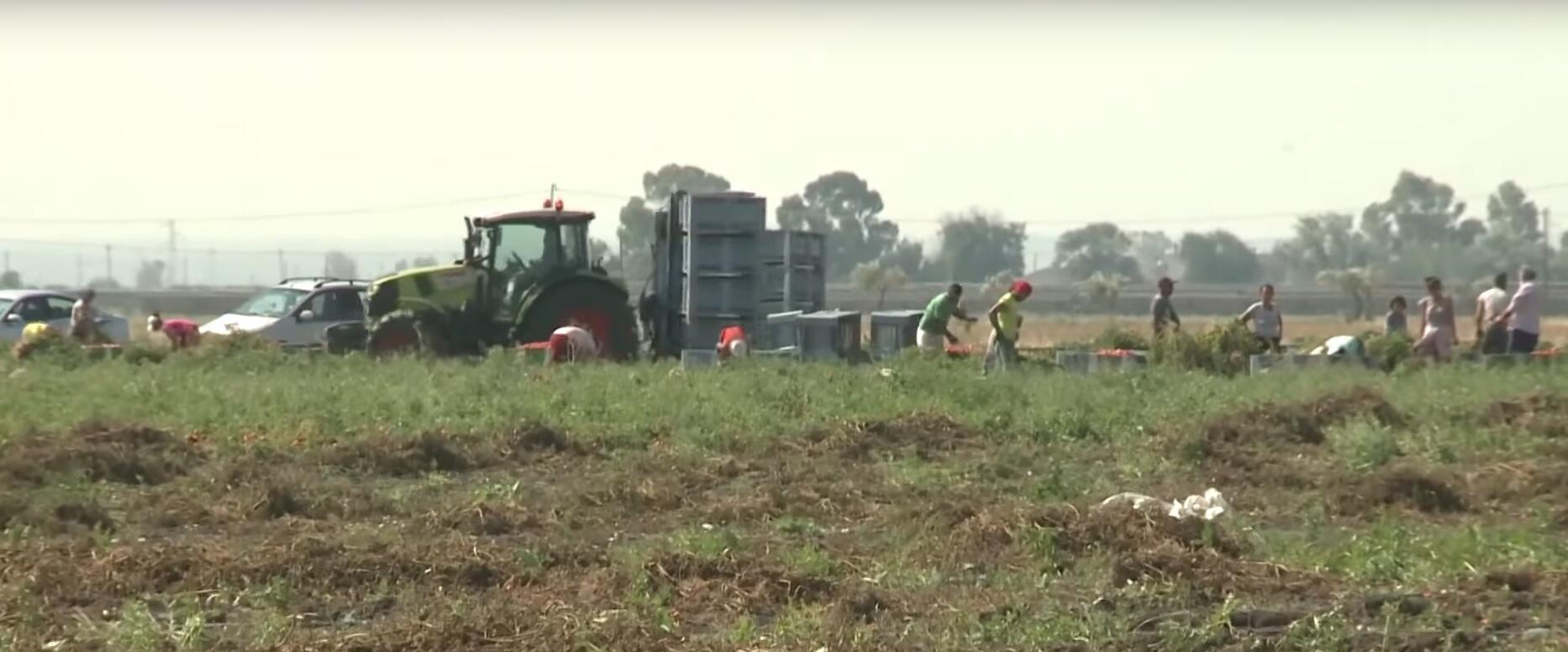 Des milliers de migrants d'Afrique subsaharienne travaillent chaque été dans les champs de tomates au sud de l'Italie.