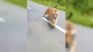 Un tigre a pris en chasse une moto de gardes-froestiers, venus pour le repérer, dans le parc de Parc Muthanga Wildlife Safari, à Wayanad dans le Kerala, le 29 juin 2019. Capture d'écran de la vidéo.