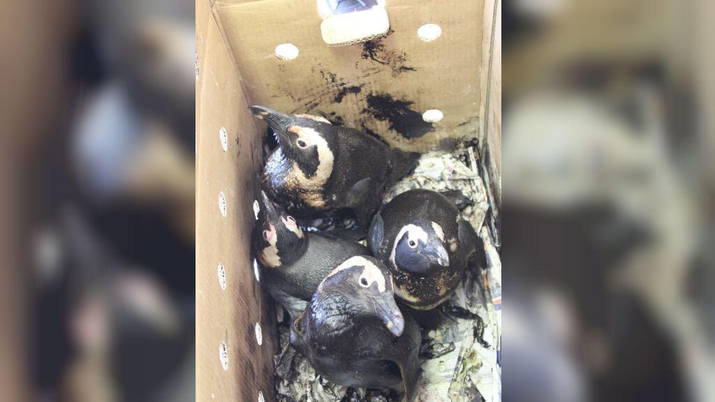 Des manchots recouverts de pétrole ont été secourus après une marée noire en Afrique du Sud. Crédit : SANCCOB