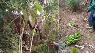 An elephant named Ahmed was filmed several times during November 2020 feasting on crops in the centre of the Ivory Coast. This image shows him munching on a field of bananas in the Dabakala region in November 2020.