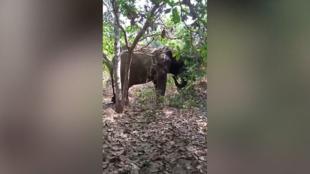 L'éléphant Ahmed filmé dans le centre de la Côte d'Ivoire en novembre 2020.