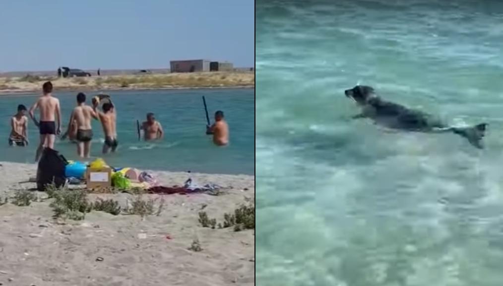 Au Kazakhstan, des phoques de la Caspienne battus à coup de pierres et de bâtons par des plaisanciers. Capture d'écran.