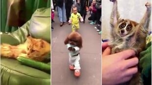 A cat scared by a cucumber, a dog walking on his hind legs like a human, or a loris being tickled and raising his arms... Seems funny at first, but is it?