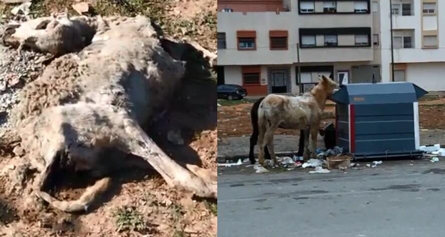 Deux captures d'écran de vidéos envoyées par notre Observateur, l'une montrant une carcasse de mouton en décomposition, l'autre des ânes cherchant de la nourriture dans une poubelle.
