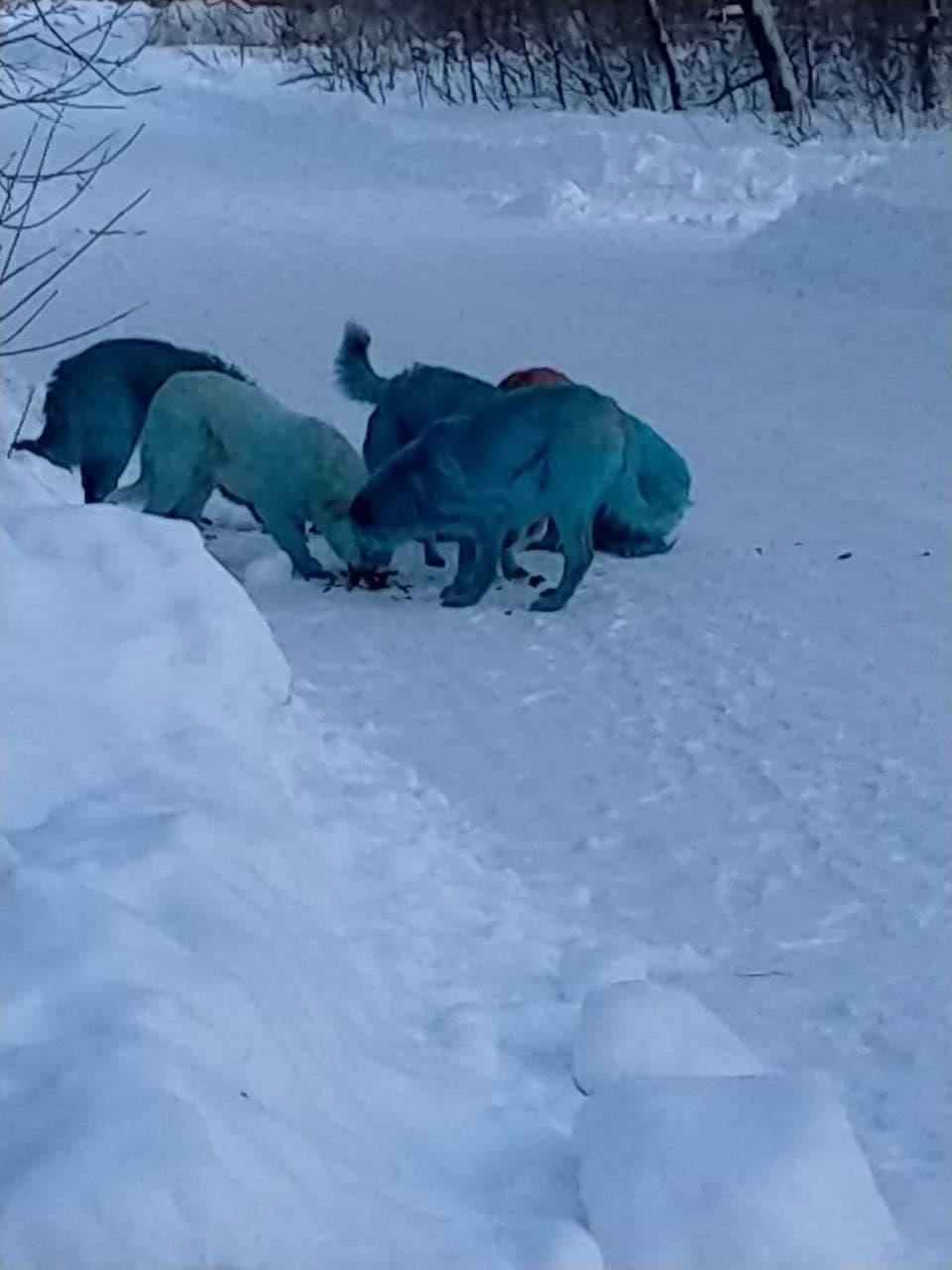 Stray dogs seen in Dzerjinsk.