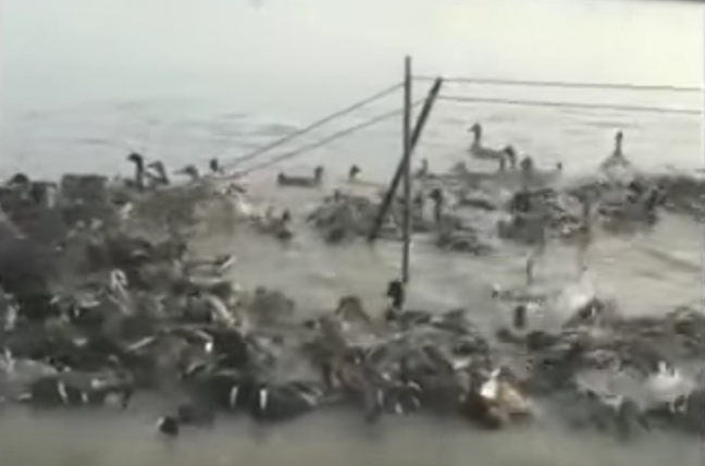 Poachers create entire lakes to trap birds.