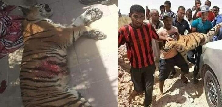 Deux photos publiées sur Facebook montrant le tigre après sa mise à mort.