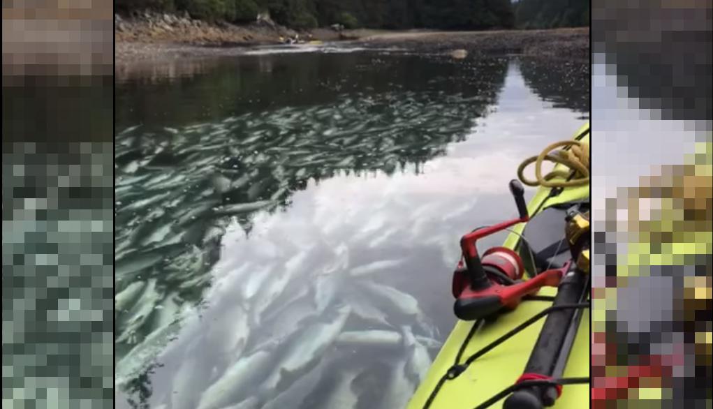 Des centaines de saumons ont été filmés par un touriste dans cette rivière de l'Alaska. Morts à cause du réchauffement climatique? Réponse en deux temps dans cet article. Capture d'écran de la vidéo d'Ales Richter.