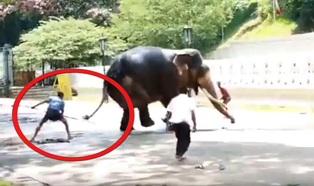 Une vidéo amateur montre le traitement réservé à des éléphants lors d'un festival au Sri Lanka, piqués aux pattes pour les déplacer. Vidéo Saving Ganesh.