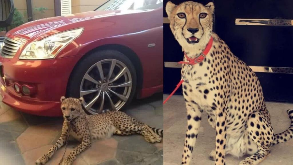 These two photos of domesticated cheetahs have been circulating on Instagram.