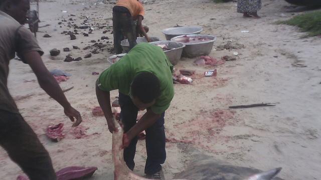 Raies dépecées sur la plage de Songolo, à Pointe-Noire. Crédit : Max.