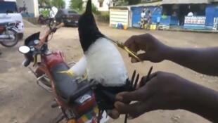 Cet oiseau est composé uniquement avec des sachets plastiques récupérés dans les rues de République démocratique du Congo. Photo Nathalon Tonge.