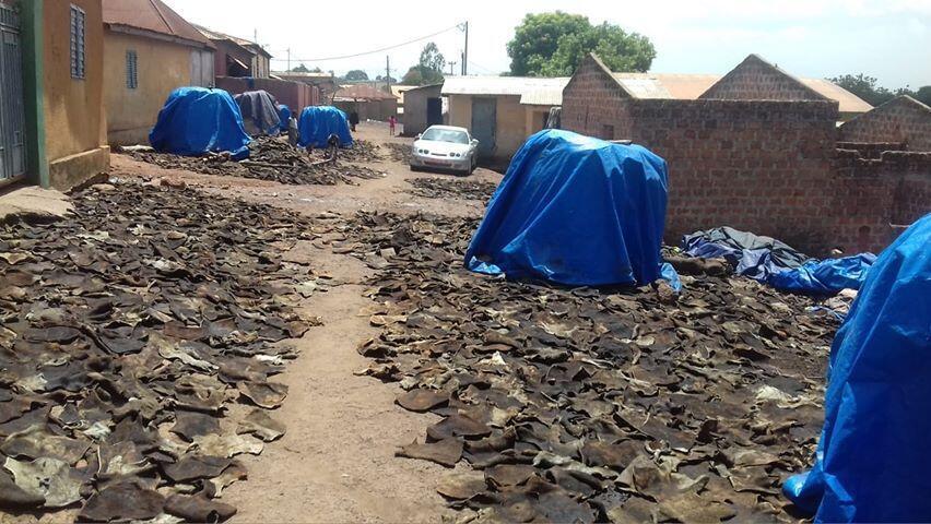 Des peaux de vache séchant sur le sol dans le quartier Konkola de Labé, dans le centre de la Guinée, courant 2018. Toutes les photos et vidéos dans cet article ont été prises par Amadou Tidiane Diallo.
