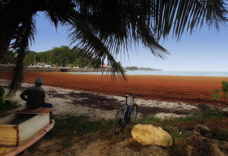 Sargassum seaweed inundates Galbas beach in Guadeloupe. Photo Serge Martinez.