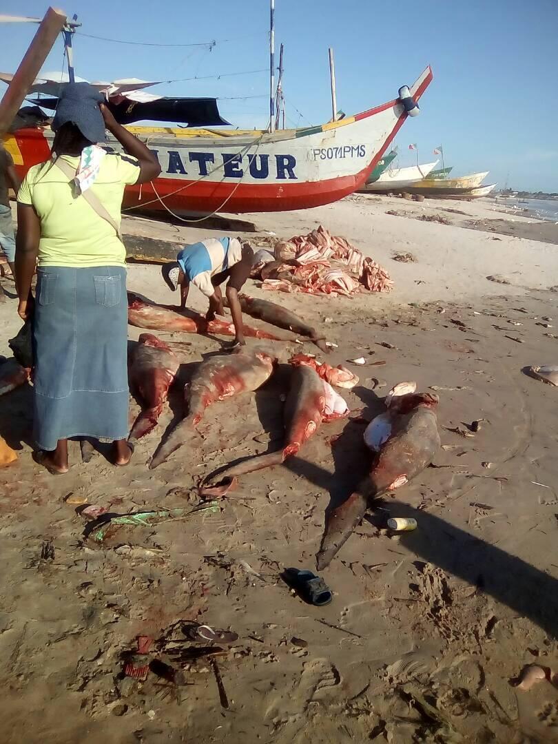 Notre Observateur à Pointe-Noire nous a envoyé une série d'images faisant état des débarquements de requins sur la plage de Songolo (avril 2018, Songolo).
