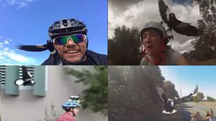 Over the past few years, there have been a large number of reports of magpies attacking cyclists in Australia. It has become such a frequent phenomenon that some cyclists have been attaching cameras to their helmets to film the attacks.