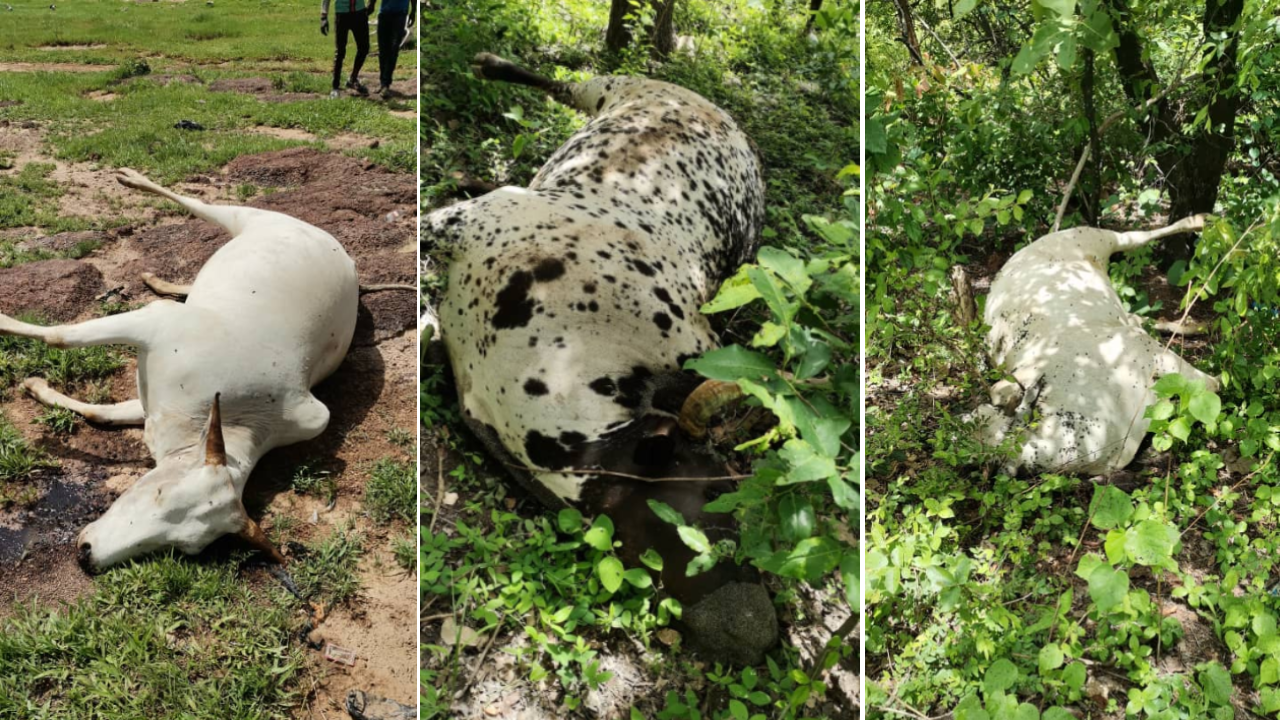 Near the Black Volta river, cows died after grazing on the land in the area of Siby in Burkina Faso.