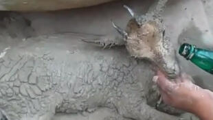 This little mountain goat got caught in the mud while trying to find water to drink. Luckily, it was saved by a forest ranger. Screen grab from a video posted to Ahmad Bari's Instagram.