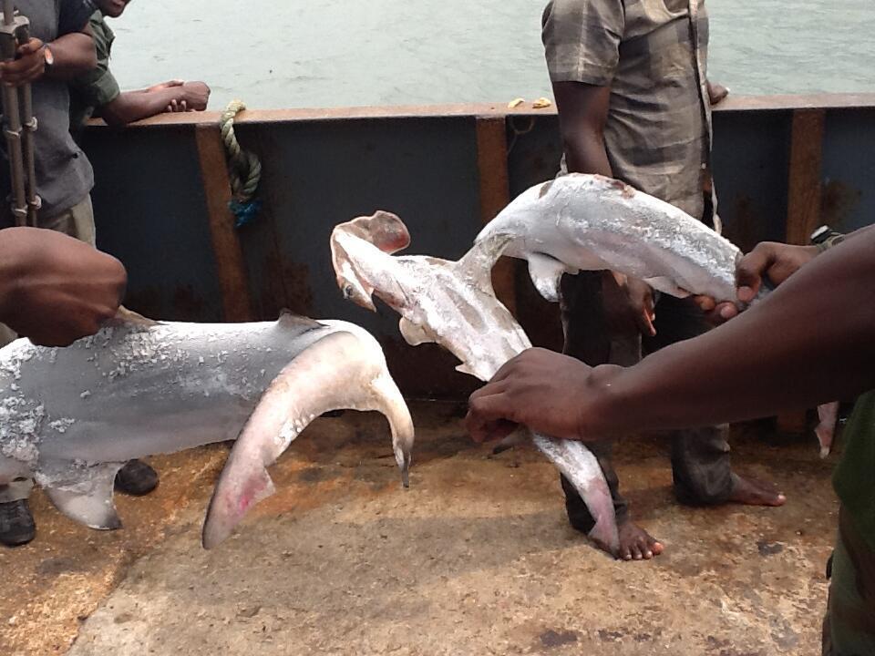 Requins juvéniles pêchés illégalement dans les eaux du Gabon en 2013. Photo: Koumba Kombila.