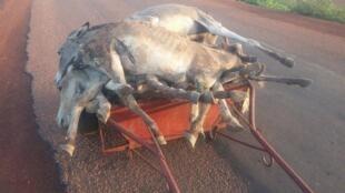 Un de nos Observateurs à Balolé, village du Burkina Faso, nous a fait parvenir plusieurs photos montrant que le commerce d'ânes destinés aux abattoirs est en expansion.