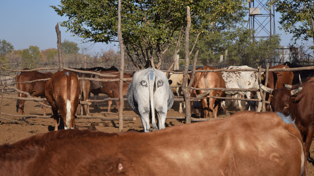 Eyes on cows' behinds: an approach that might seem a bit curious, but that is the subject of a serious study in Botswana. Photo credit: Ben Yexley.