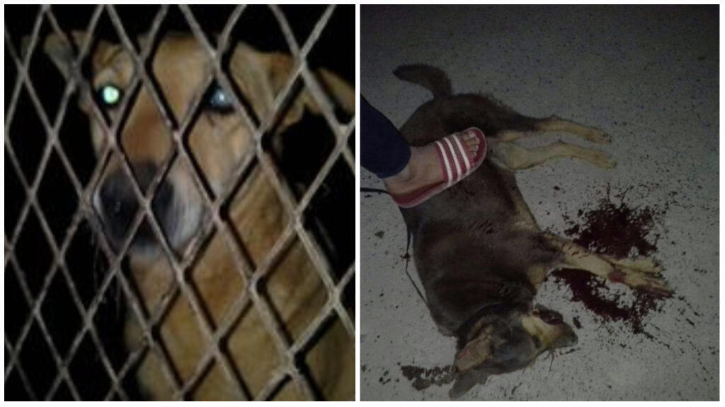Photos taken during the slaughter of stray dogs in the village of Taghazout, near Agadir. (Photos taken on April 7, 2018)