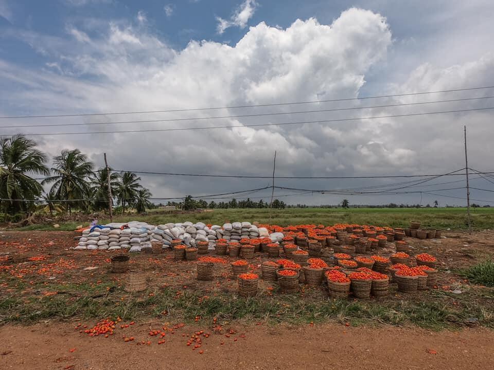 Des dizaines de paniers de tomates avariées abandonnés aux abords des voies, à Grand-Popo. Photo publiée sur Facebook par Yanick Folly.