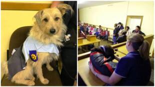 """À gauche, le chien """"Sansa"""" déguisé en policier; à droite, un chien déguisé en juge dans une salle d'audience reconstituée. Crédits: TopDogs."""