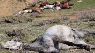 Des images montrant des dizaines de chevaux abattus, dans les montagnes qui séparent l'Iran et l'Irak, ont provoqué de vives réactions en Iran depuis leur diffusion le 1er mai 2018.