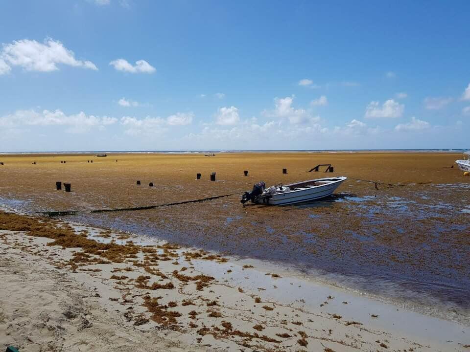 """Algues sargasses à Sainte Anne en Guadeloupe le 27 mars. Photo partagée sur le groupe Facebook """"Sargasses Danger ou Opportunité""""."""