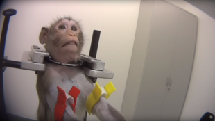 A monkey undergoing a test at the Laboratory of Pharmacology and Toxicology in Germany. © Cruelty Free International and SOKO Tierschutz.
