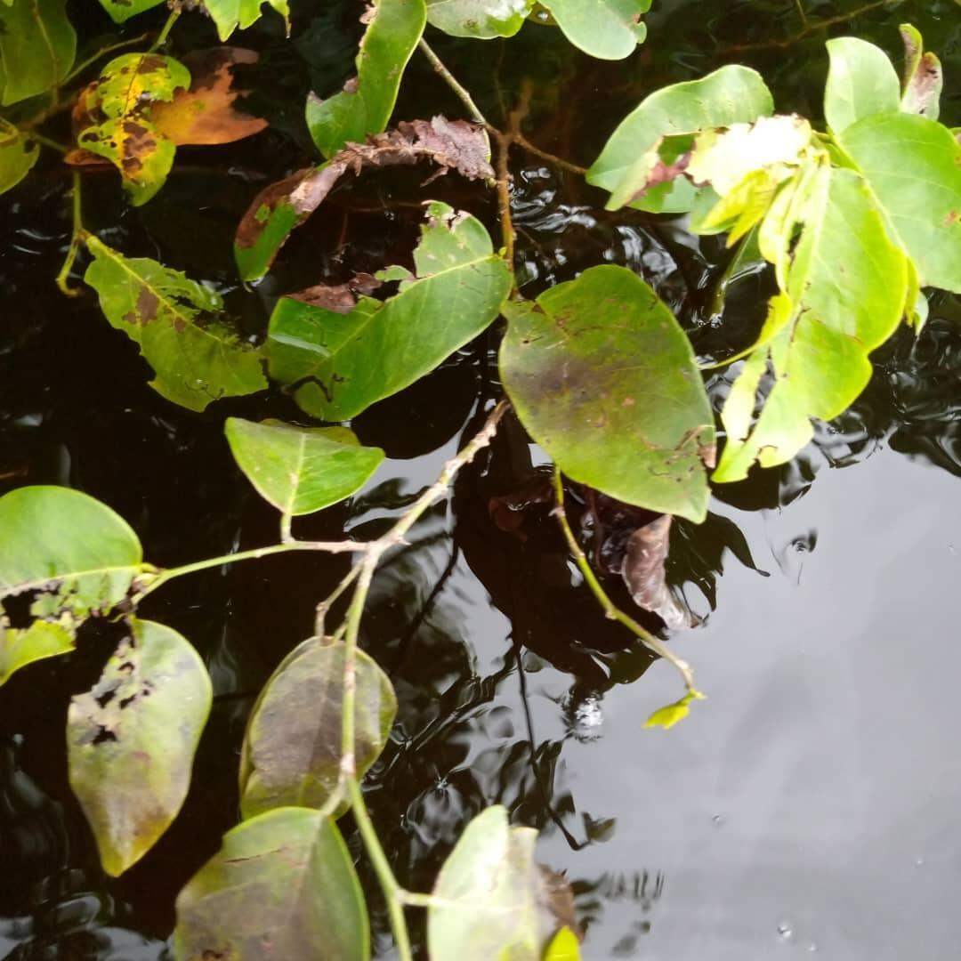 Des feuilles noircies photographiées au niveau d'un site pollué, selon des habitants par des produits hydrocarbures. Photo prise en novembre 2020.