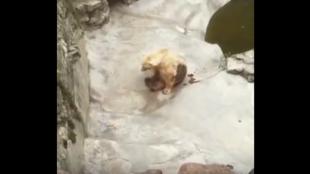 Capture d'écran de la vidéo montrant un ours polaire au zoo de Belgrade qui semble souffrir pour se déplacer. Vidéo publiée par ORPAK Kruševac.