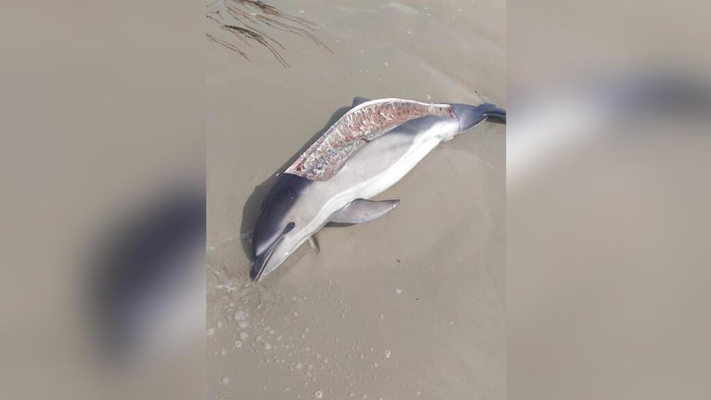 Le 2 août, une passante a trouvé le corps mutilé d'un dauphin sur la plage de La Torche, en Bretagne. Crédit : Sea Shepherd France