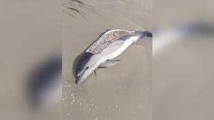 On Aug. 2, a walker happened across the butchered body of a dolphin on a beach in La Torche, France. (Photo: Sea Shepherd/Facebook)