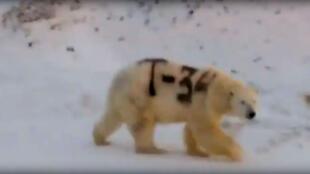"""Capture d'écran de la vidéo, où l'on distingue l'inscription peinte sur le flanc de l'ours : """"T 34""""."""