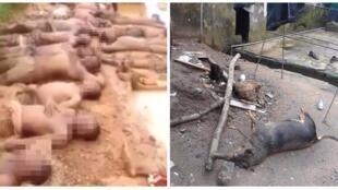 À gauche, ds hommes de l'IPOB humilés par l'armée nigéirane, allongés dans la boue. A droite, le chien d'un leader indépendantiste abattu lors de l'attaque de sa maison.