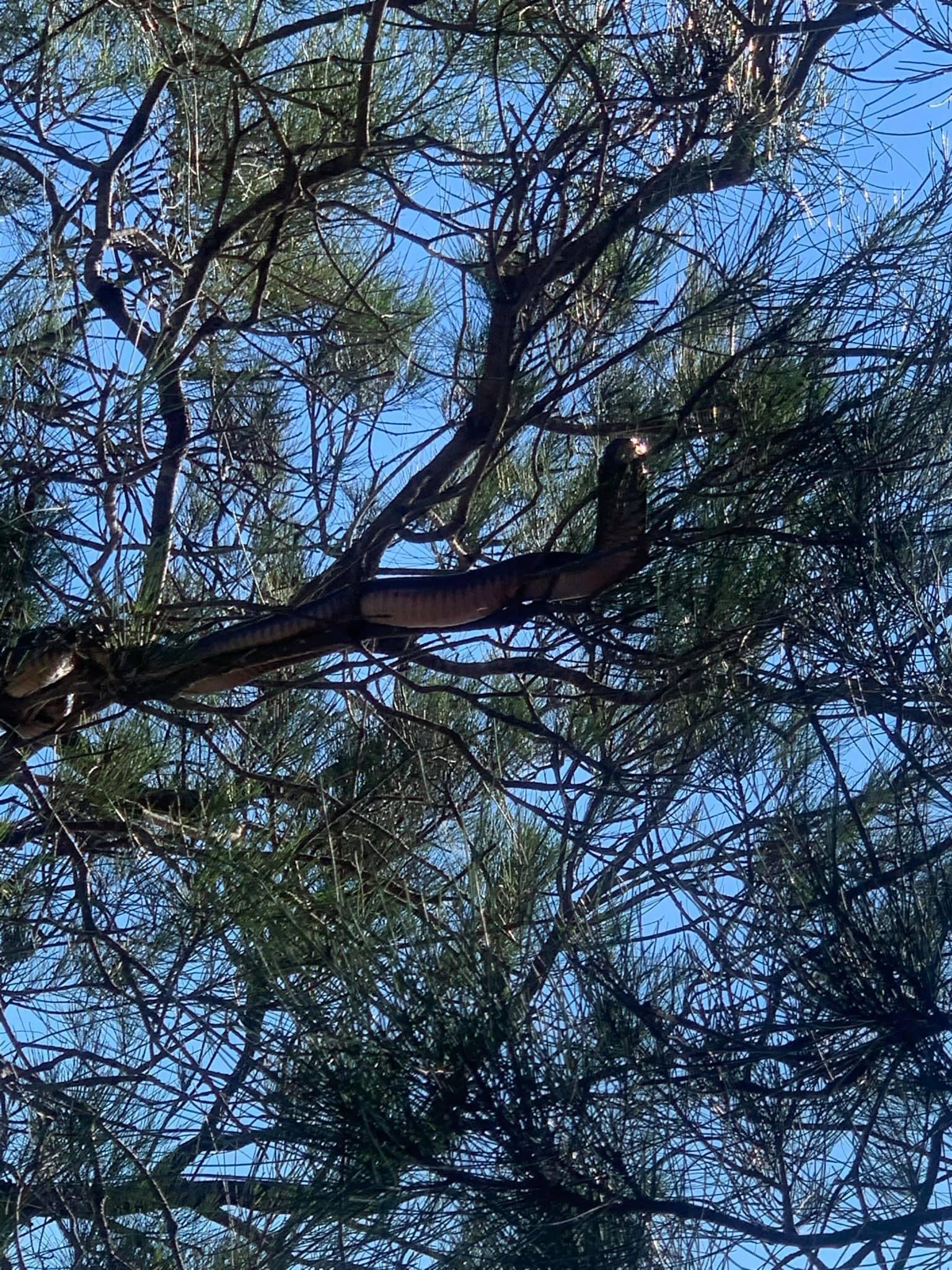 Un serpent dans un arbre le 24 mars 2021 à Kinchela Creek (Australie).