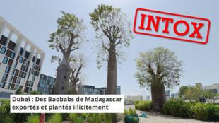 Selon plusieurs publications sur Internet, des baobabs de Madagascar en danger d'extinction auraient été plantés récemment à Dubaï, sauf que c'est faux.