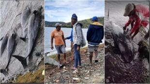À gauche: quatre dauphins morts trouvés sur la plage de Petit Sable. Centre: les habitants évaluent les dégâts, un dauphin mort en arrière-plan. À droite: un résident local retourne une carcasse à Petit Sable