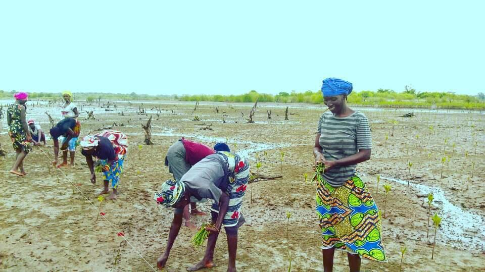 Volunteers plant mangrove saplings along a river flat in Sankandi, The Gambia. Photo sent by our Observer.