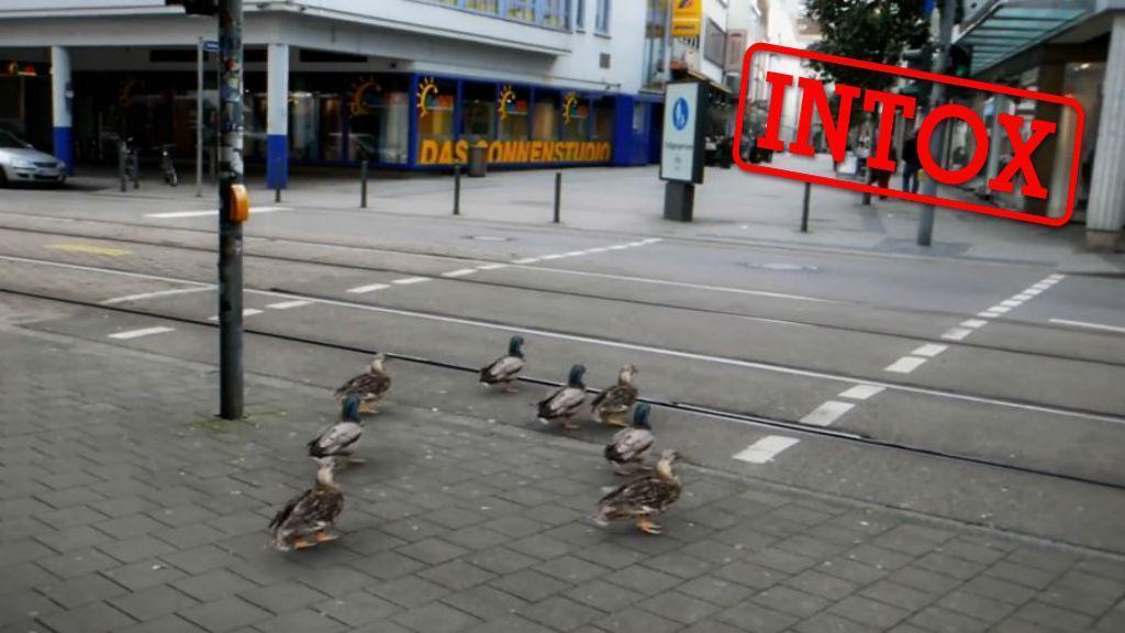 ویدئوی ساختگی عبور اردک ها از خیابان پس از سبز شدن چراغ راهنمایی