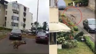 Une hyène a semé la zizanie dans la commune de Cocody après s'être échappée d'un zoo. Captures d'écran vidéo Lesley Kouakou et Abidjan.net.