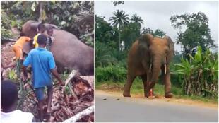 Deux captures d'écran de vidéos montrant l'éléphant surnommé Ahmed dans la région de Guitri, en Côte d'Ivoire.