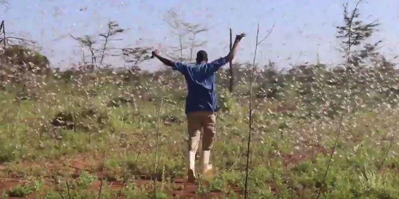 Un exploitant agricole face à la nuée de criquets qui envahit le Kenya depuis décembre. Crédit : K24 TV.