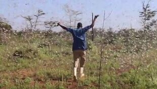 A farm operator walks through a swarm of locusts that are part of the wave that descended on Kenya in December (Credit: K24 TV).